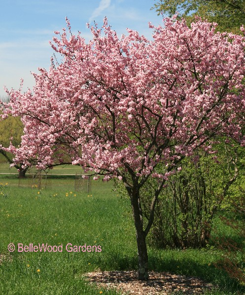 Bellewood gardens diary prunus blireiana is a small flowering plum with deep pink flowers an attractive ornamental tree of modest size that bears little or no fruit mightylinksfo
