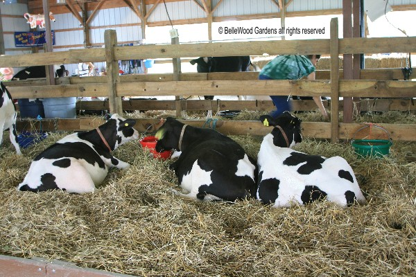 Some Holsteins Just Taking It Easy And Loafing In The Cow Barn