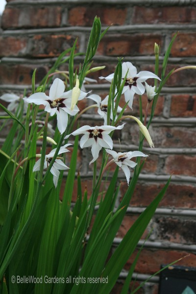 Bellewood gardens diary a close relative of gladiola this pristine white flower with burgundy blotches is peacock lily acidanthera murielae sweetly fragrant flowers especially mightylinksfo