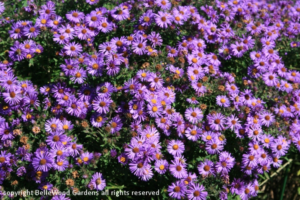 Beautiful home gardens - Gallery For Gt Purple Asters