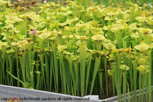 Native Plants For Wet Places, And Especially Native Insectivorous Plants  Like This Planting Bed Of Sarracenia Flava.