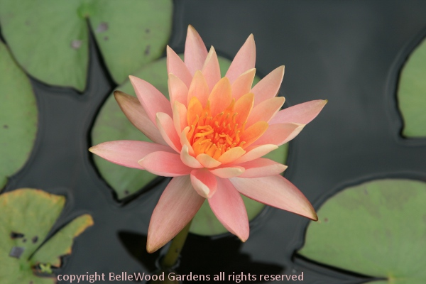 There Are Water Lilies At Aquascapes Unlimited. Thatu0027s Not Their Focus  Though.