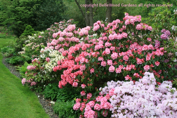 Exellent Garden Design Rhododendron Plant Growing In And For Decor