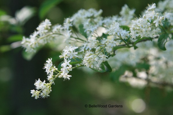 Bellewood gardens diary the froth of tiny white flowers are pretty enough however the reason i was eager to acquire symplocos paniculata is explained by its common name mightylinksfo
