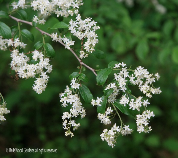 Bellewood gardens diary is a wonderful small tree at this time of year it covers itself with a frothy lace of small white flowers in autumn the berries are well mightylinksfo Image collections